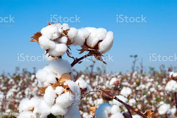 Branch of ripe cotton on the cotton field, Uzbekistan