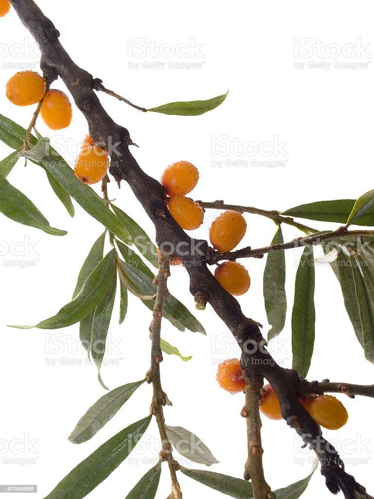 Branch of ripe orange sea-buckthorn berries royalty-free stock photo