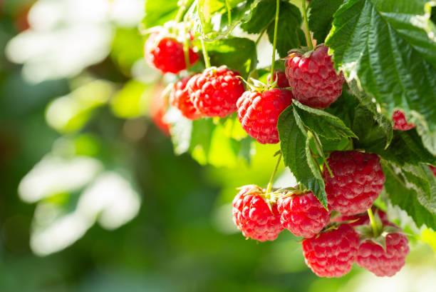 branch of ripe raspberries in a garden stock photo
