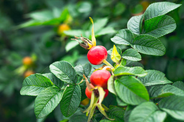 Branch of Ripe Red Rosehip Berries in a Garden, Close Up Red Rosehip Berries in a Garden dog rose stock pictures, royalty-free photos & images