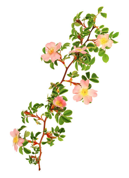 Branch of rosehip rose flower isolated on white background. Eglantine stem with flowers, leaves, young shoots, thorns. wild rose stock pictures, royalty-free photos & images