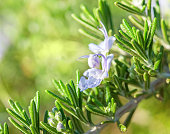 Branch of Rosemary with flowers on a background of greenery in nature at the sunny morning.