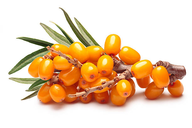 branch of sea buckthorn berries, clipping paths - 씨벅턴 뉴스 사진 이미지