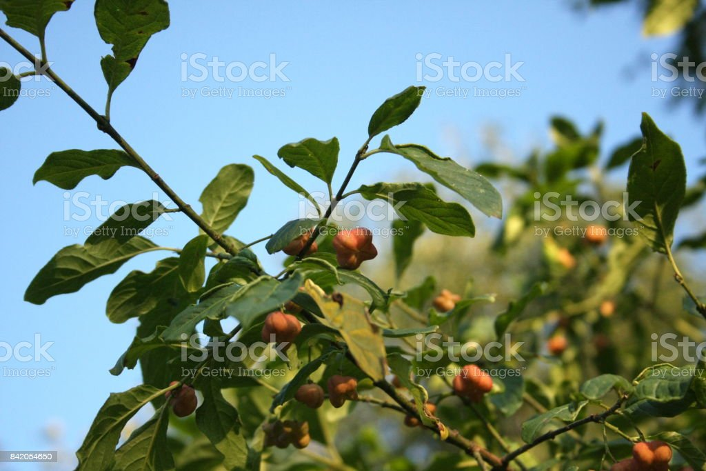 branch of  spindle or spindle tree stock photo