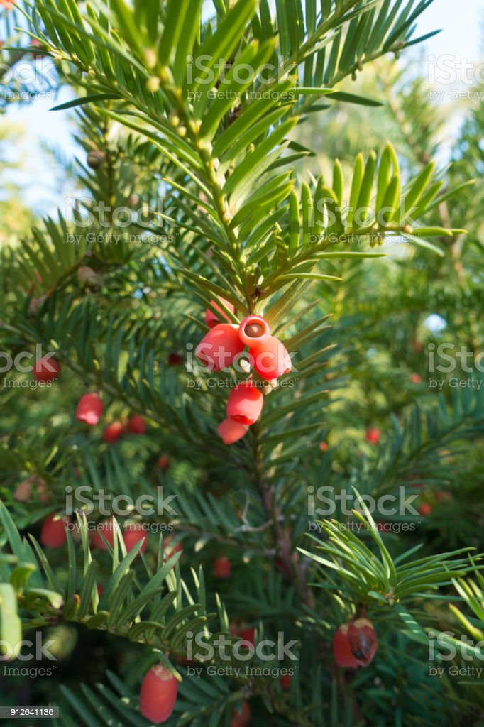 Branch of taxus baccata with red seed cones stock photo