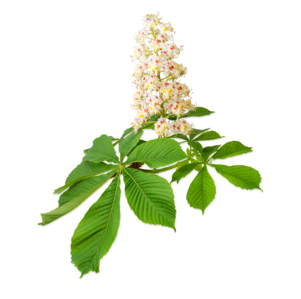 Branch of the blooming horse-chestnuts on a light background stock photo