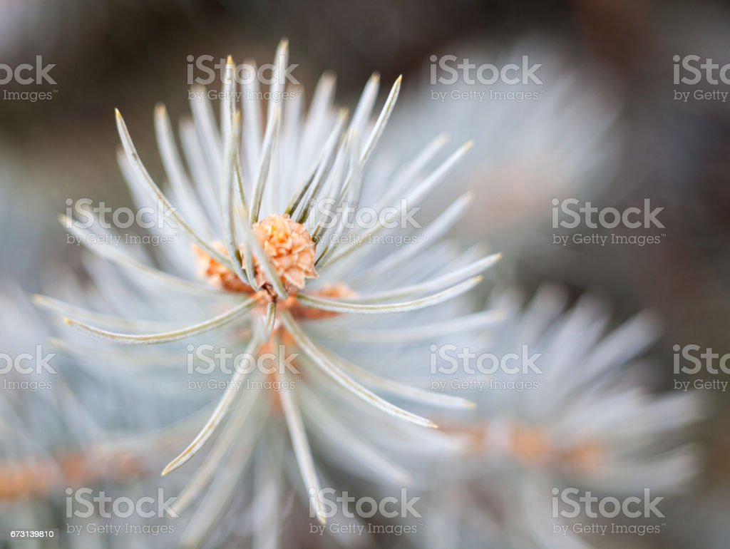 Branch of the blue spruce stock photo