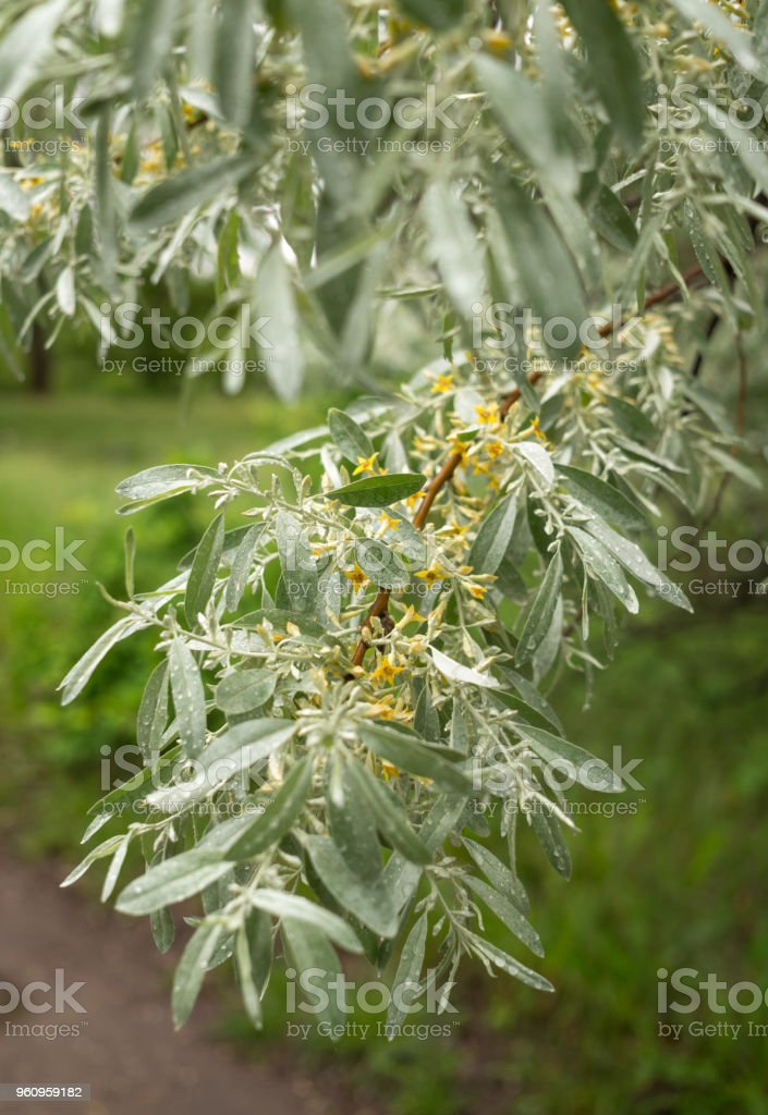 Branch Of The Budding Olive Tree Stock Photo & More Pictures