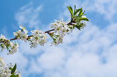 istock A branch of the cherry blossoms against the blue sky 921380204
