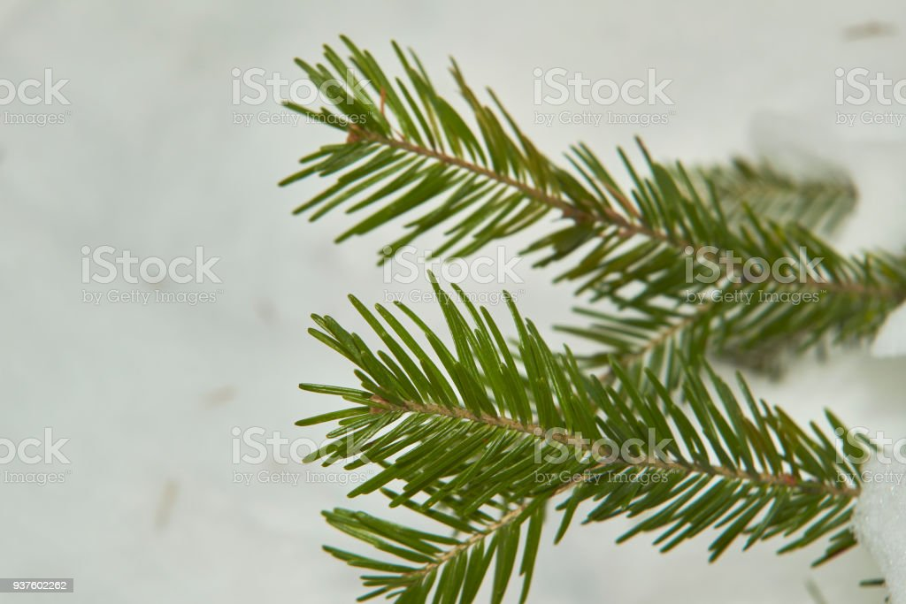 Branch of the Christmas fir-tree with the snow stock photo