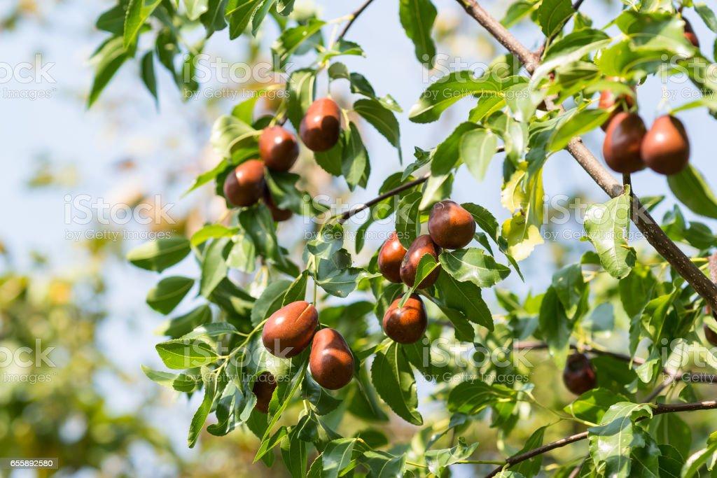 A branch of the jujube-good harvest (lat. Ziziphus jujuba) stock photo