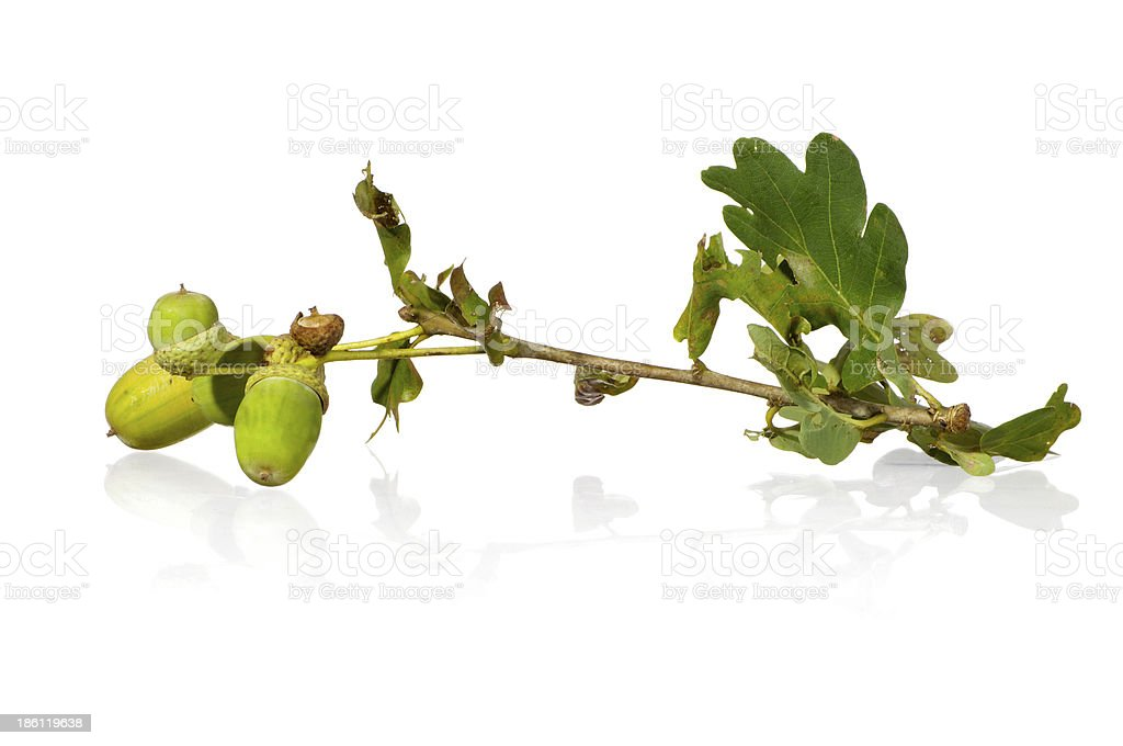 Branch of the oak stock photo