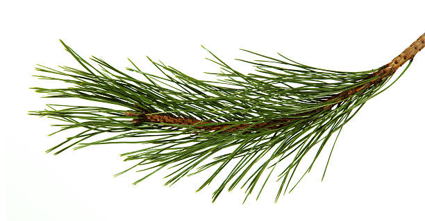 branch of the pine - pine tree stock photos and pictures