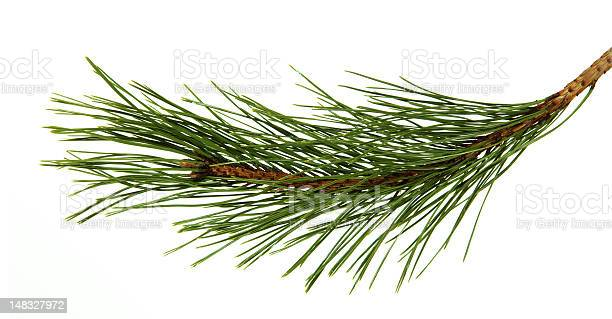 Photo of Branch of the pine