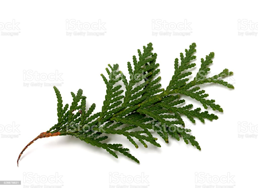 Branch of thuja isolated on white background stock photo