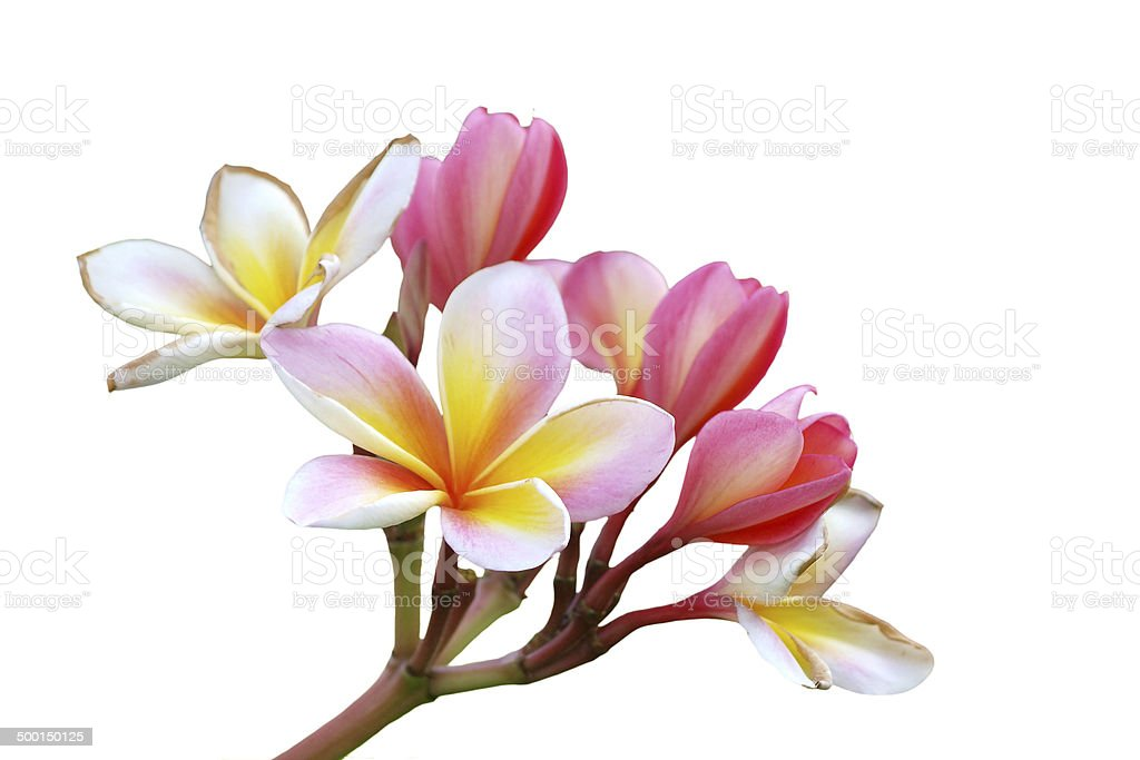 Branch of tropical flowers frangipani (plumeria) isolate on whit stock photo