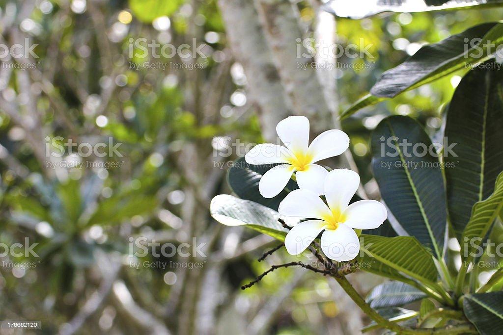 Rama de flores tropicales frangipani (plumeria) foto de stock libre de derechos