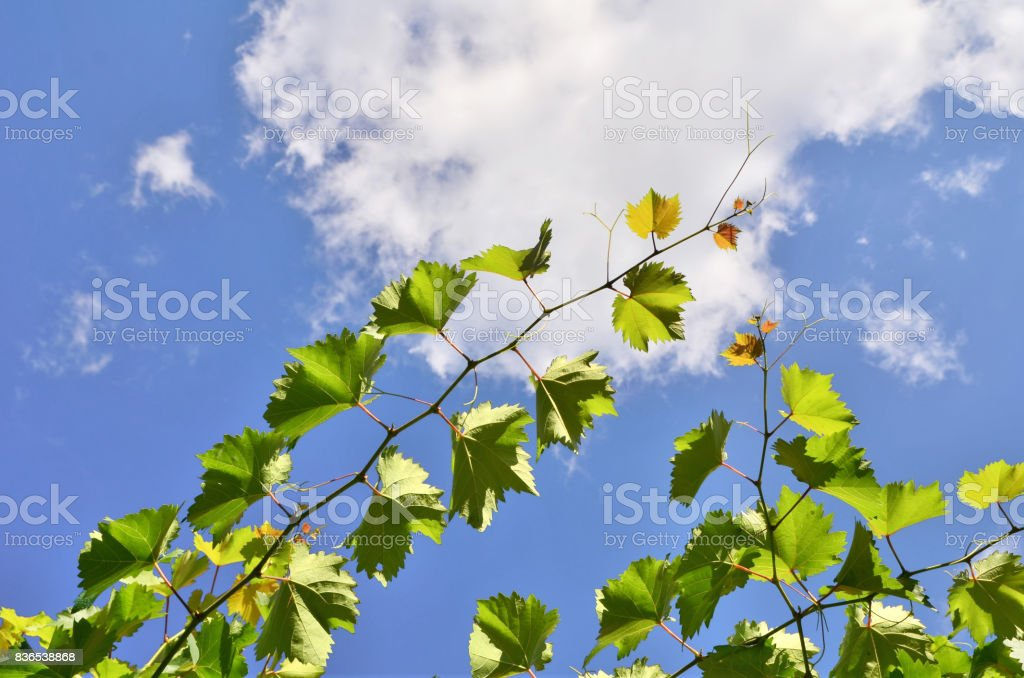 A branch of vine leaves on a blue sky stock photo