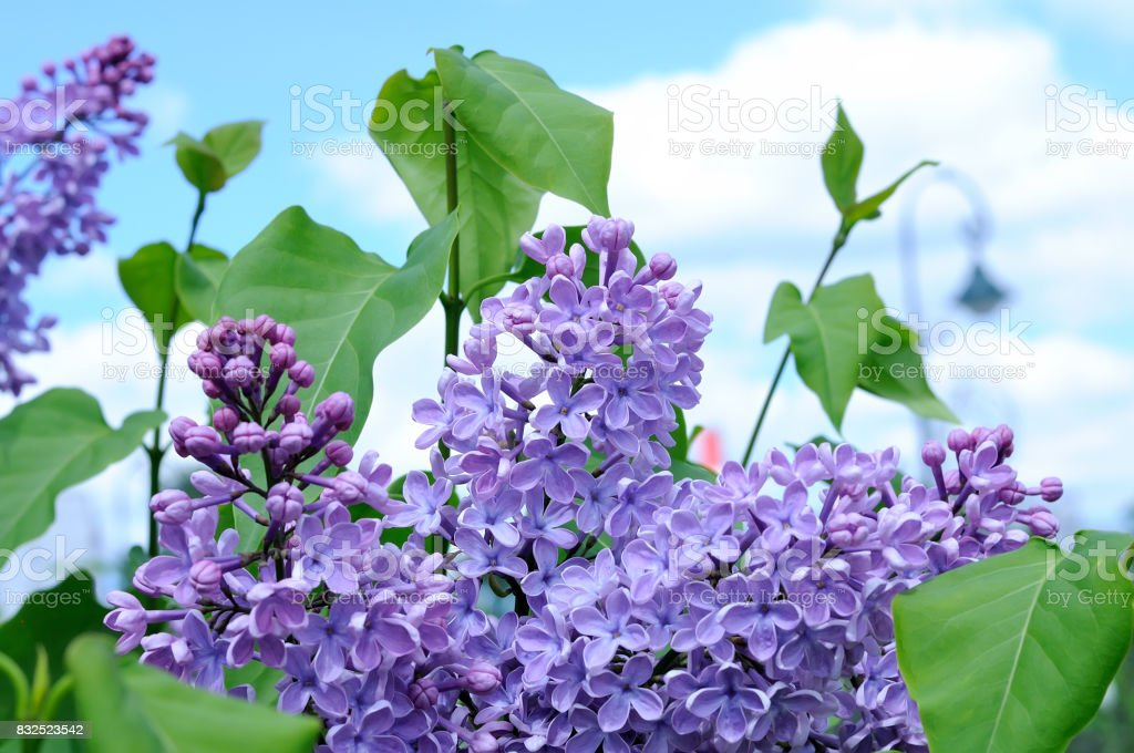 Branch of violet lilac against a blue sky stock photo