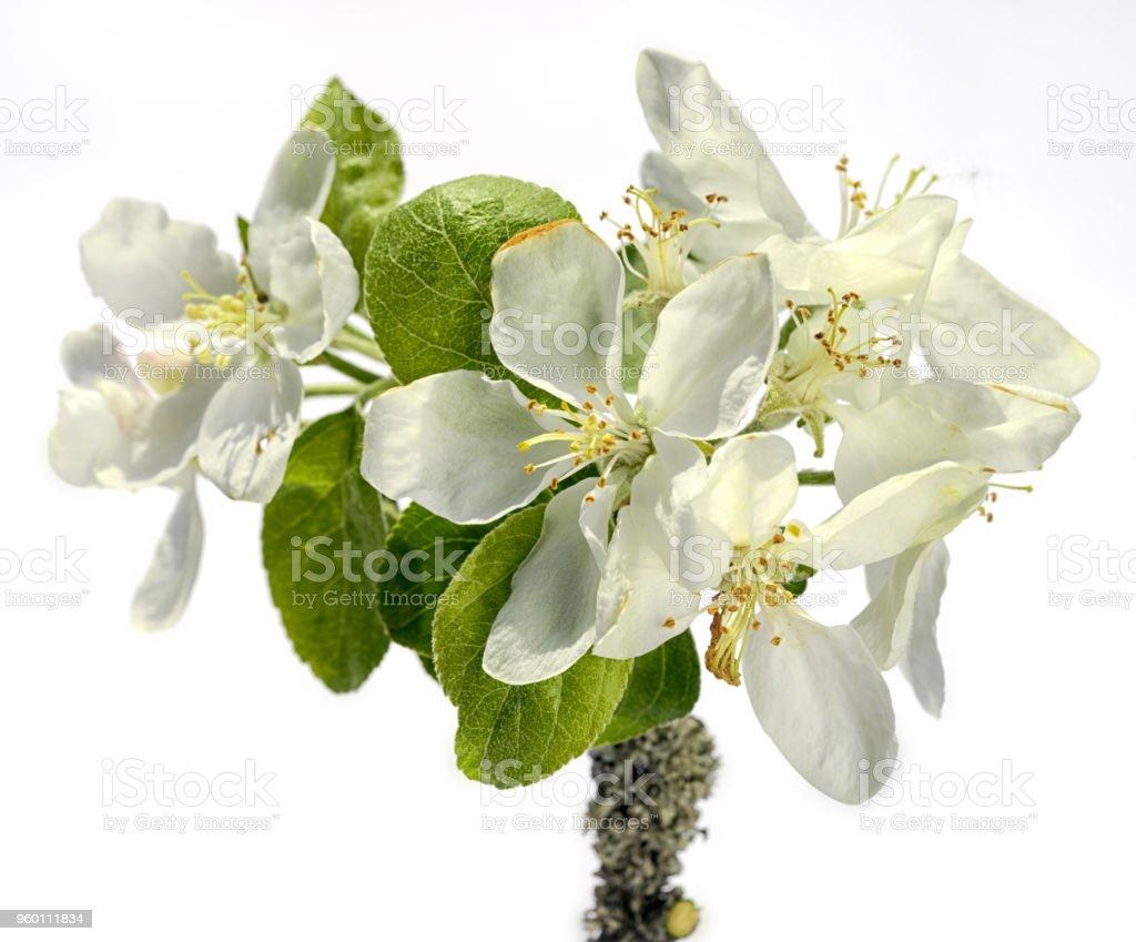 흰색 배경에 고립 된 고립 된 하얀 사과 꽃의 분 지 스톡 사진