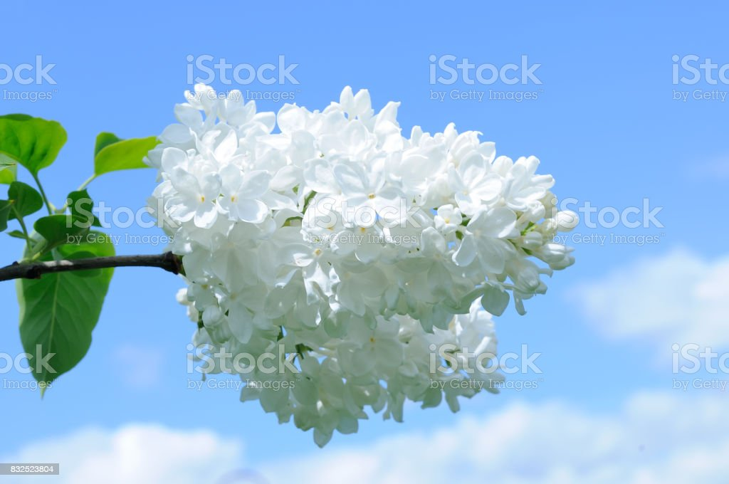 Branch of white lilac against a blue sky stock photo