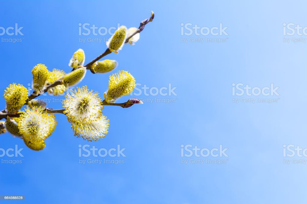 Branch of willow with fluffy bright yellow buds stock photo