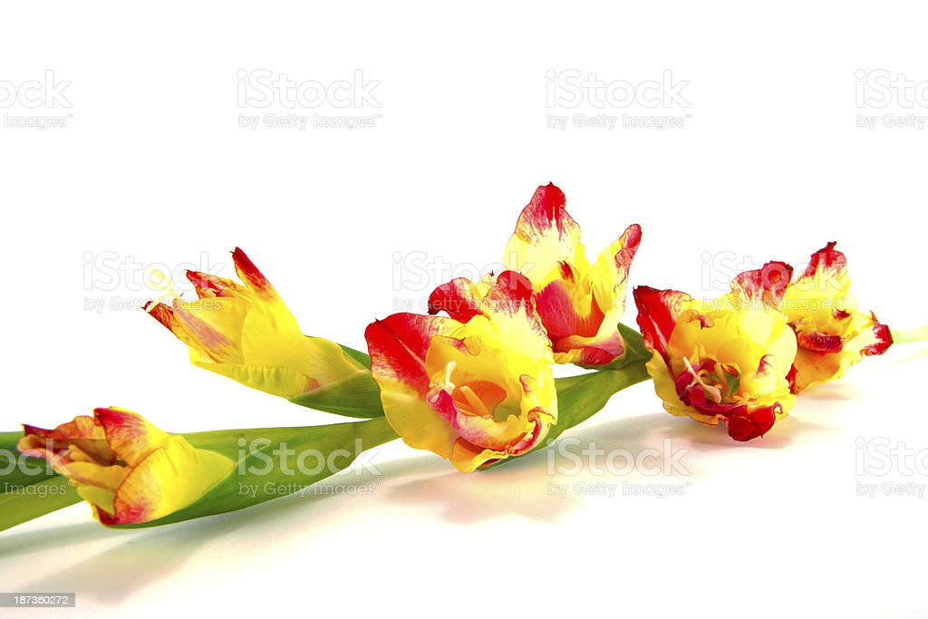 branch of yellow-pink gladiolus on white background close-up royalty-free stock photo