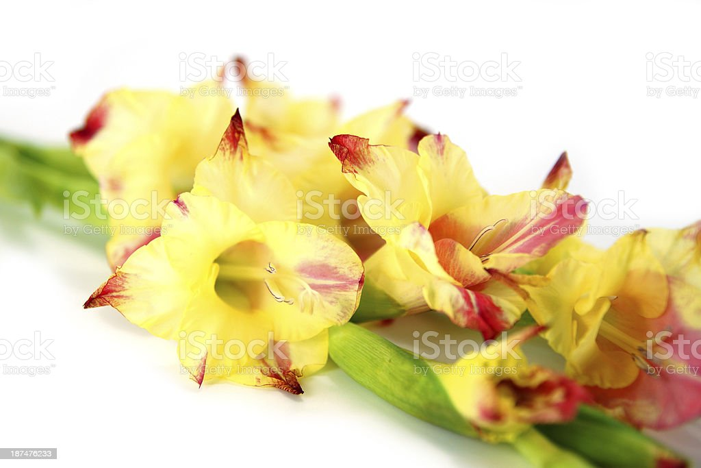 Branch of yellow-red gladiolus on white background. royalty-free stock photo