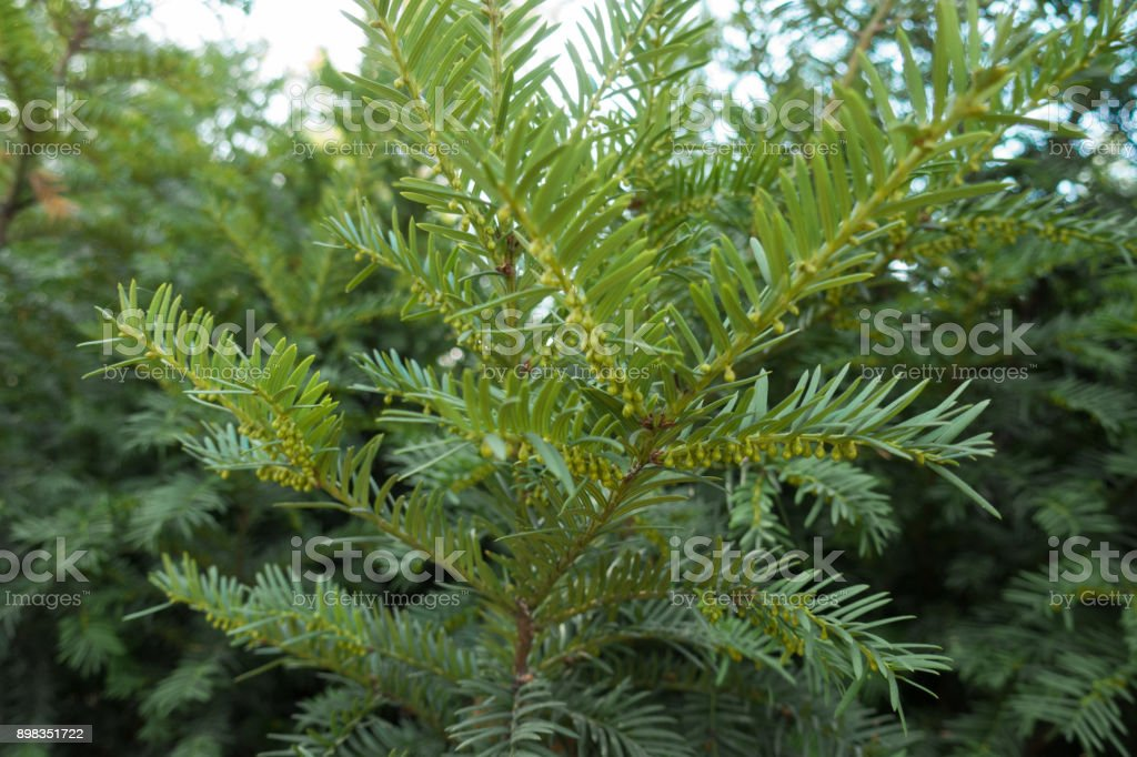Branch of yew with immature male cones stock photo
