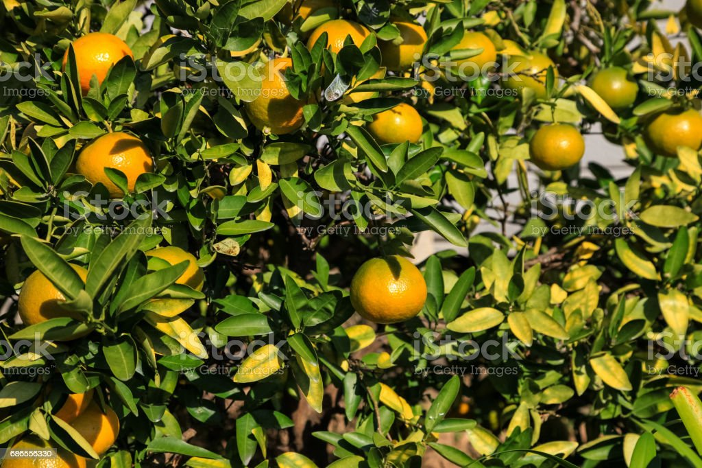 Branch orange tree fruits green leaves in Japan. royaltyfri bildbanksbilder