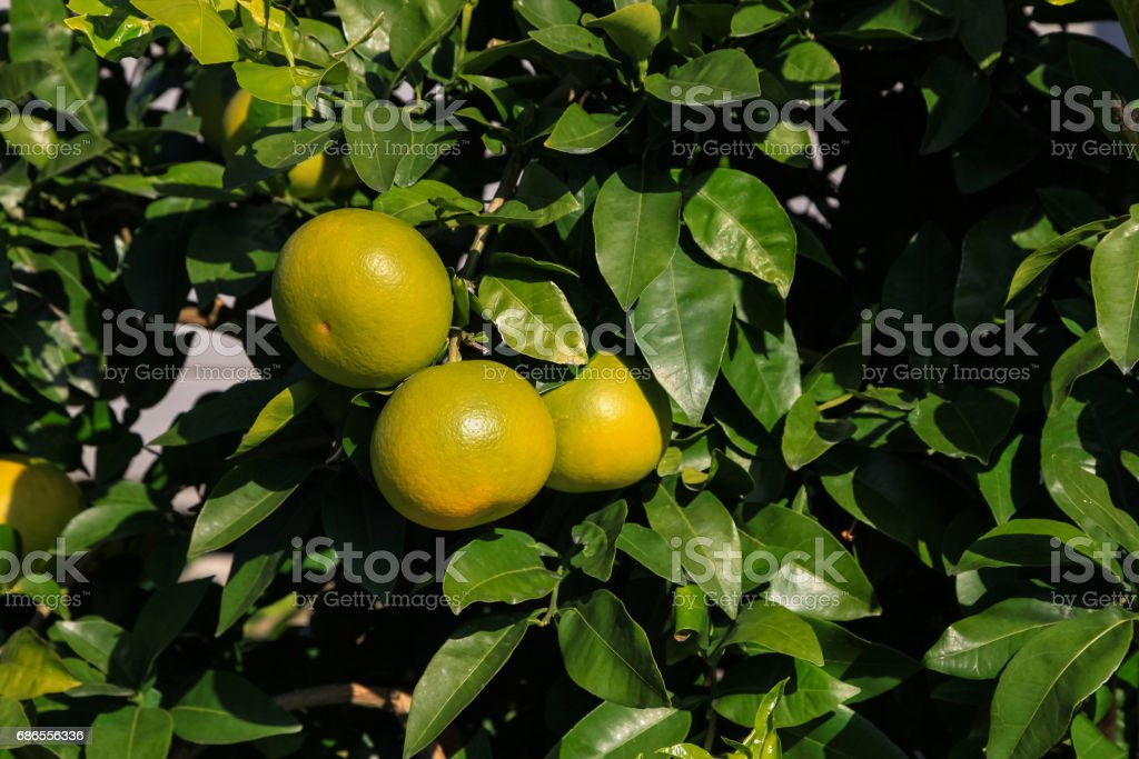 Branch orange tree fruits green leaves in Japan. zbiór zdjęć royalty-free