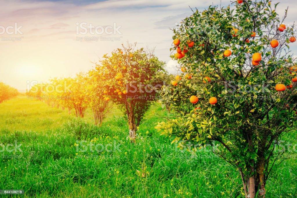 branch orange tree. stock photo