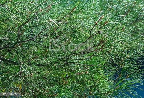Branches of coniferous trees are often used for decoration for Christmas, New year and as a background for greetings