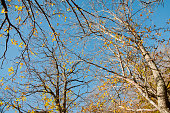 Chestnut tree branch with blue sky in background
