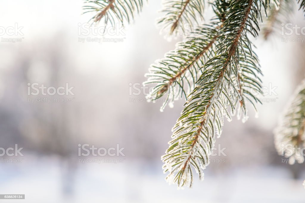 Branch pine tree in snow royalty-free stock photo