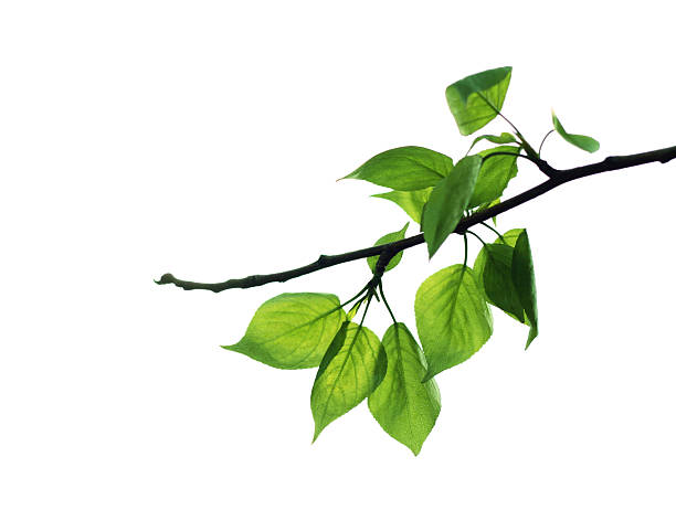 Branch showing green fresh leaves picture id172174821?b=1&k=6&m=172174821&s=612x612&w=0&h=hcwonwz3oy krgu 0m6q kgryo xqtolrl zxwajywi=
