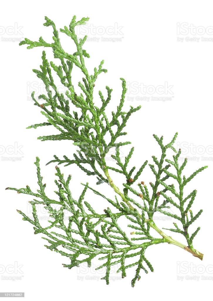 Branch thuja royalty-free stock photo