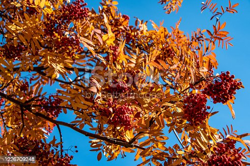 948743278 istock photo branch tree with yellow leaves with red berries of mountain ash, autumn atmosphere of forest 1226709248