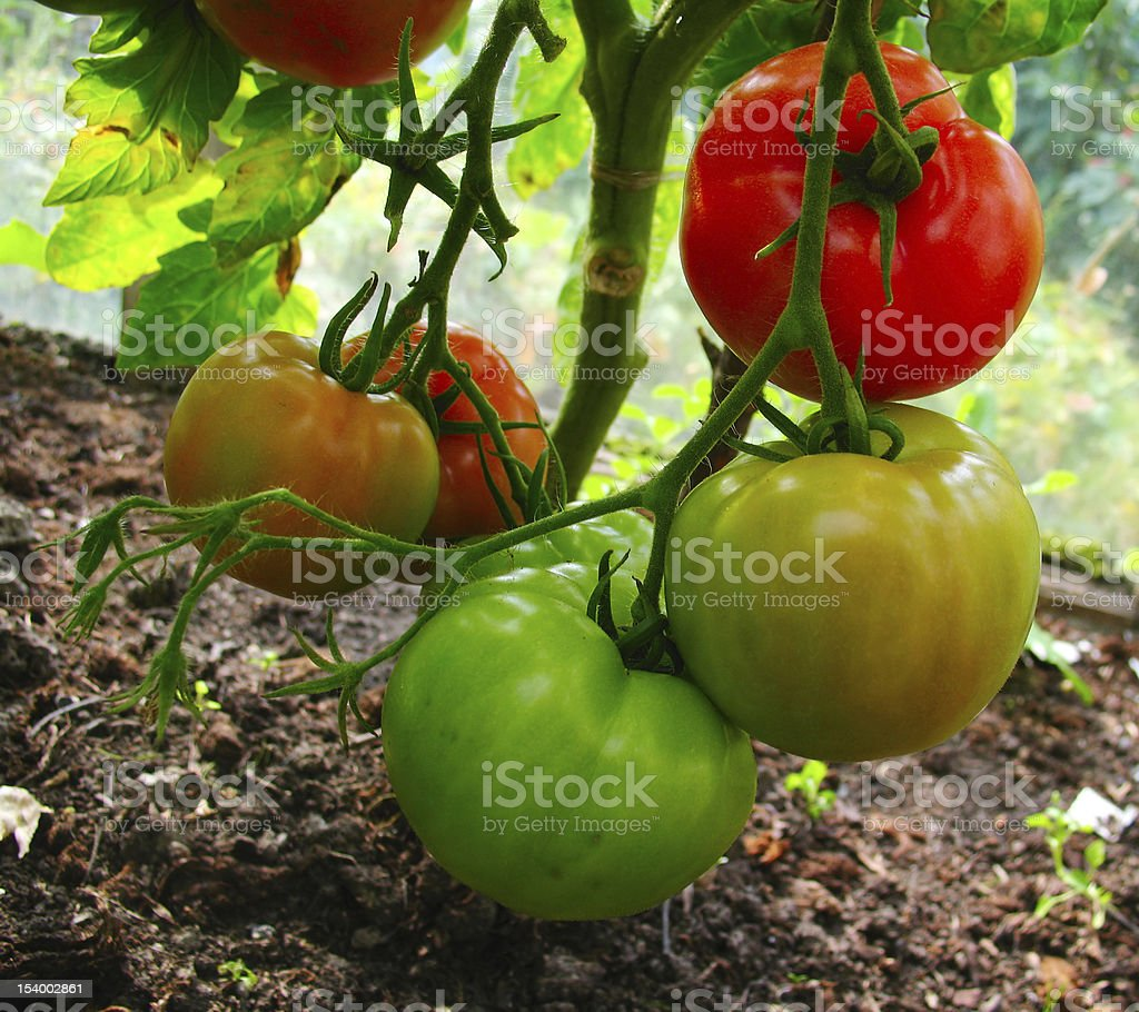 Branch with 3 coloured tomatos stock photo