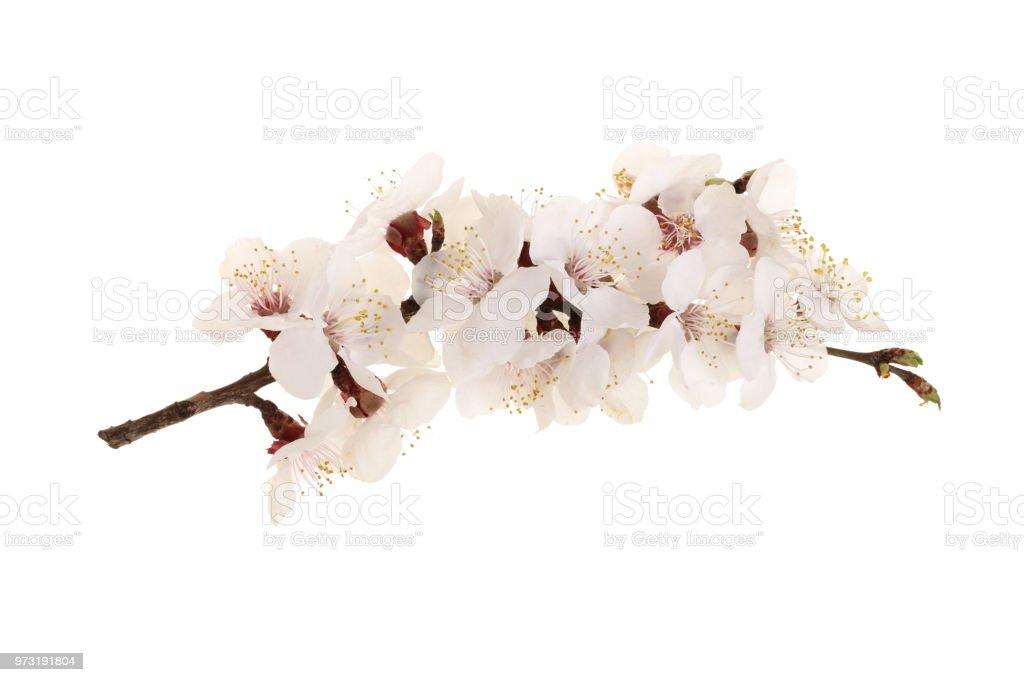 Ramo com flores de Damasco isolado no fundo branco. Vista superior. Estabelecer o plano - foto de acervo