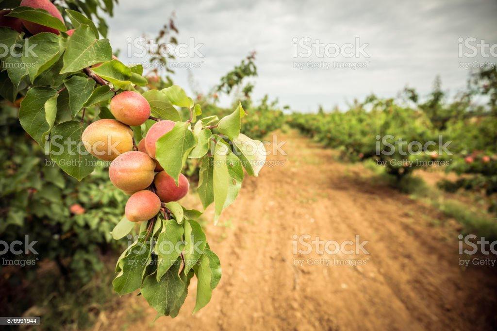 A branch with apricots and green leaves. Apricot orchard and dirt path stock photo
