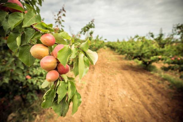 a branch with apricots and green leaves. apricot orchard and dirt path - frutteto foto e immagini stock
