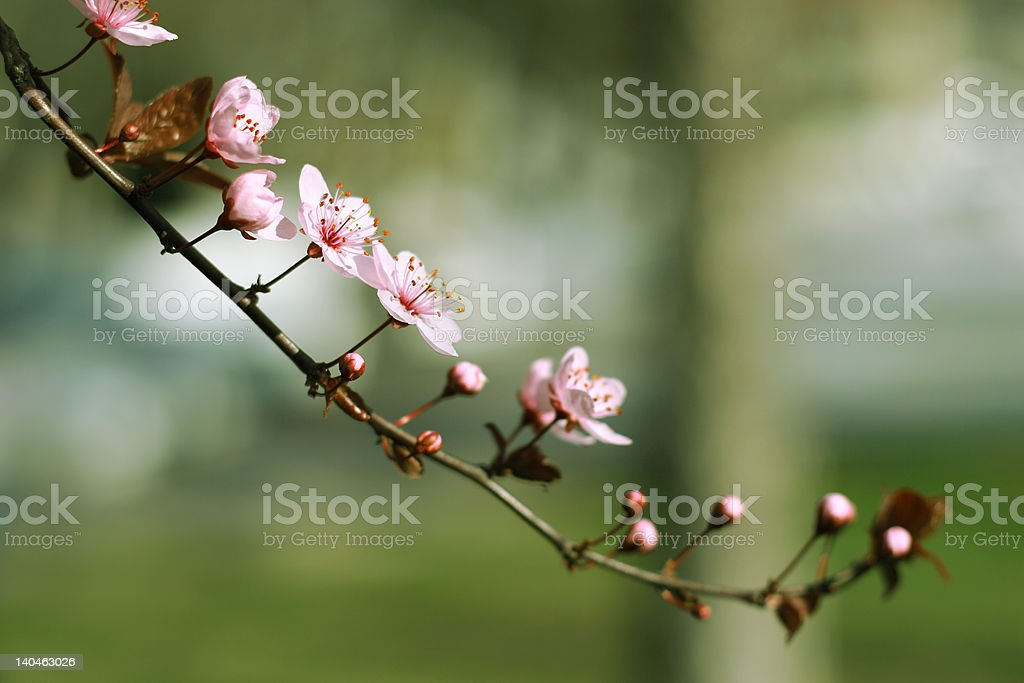 branch with beautiful blooms royalty-free stock photo