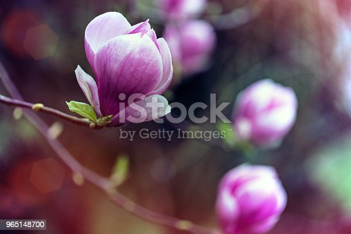 Branch With Beautiful Magnolia Flowers Stock Photo & More Pictures of Abstract