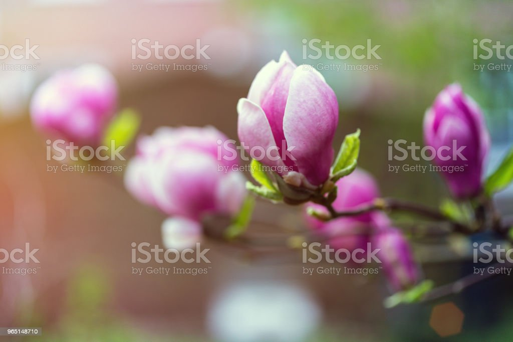 branch with beautiful magnolia flowers royalty-free stock photo
