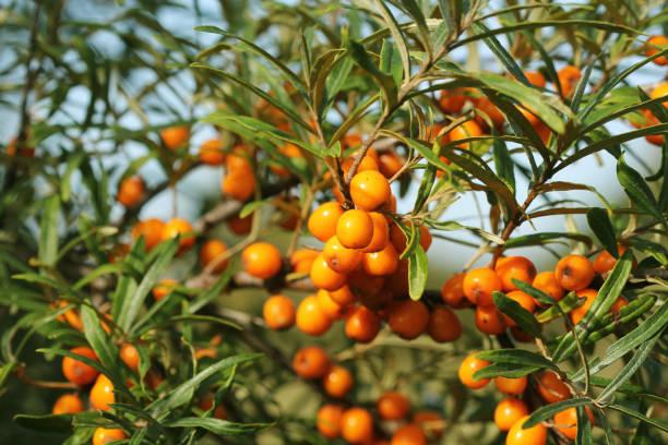 지사 베리류 of 씨벅턴 및 녹색 잎 - 씨벅턴 뉴스 사진 이미지
