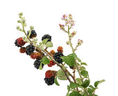 Black and red blackberries on a branch