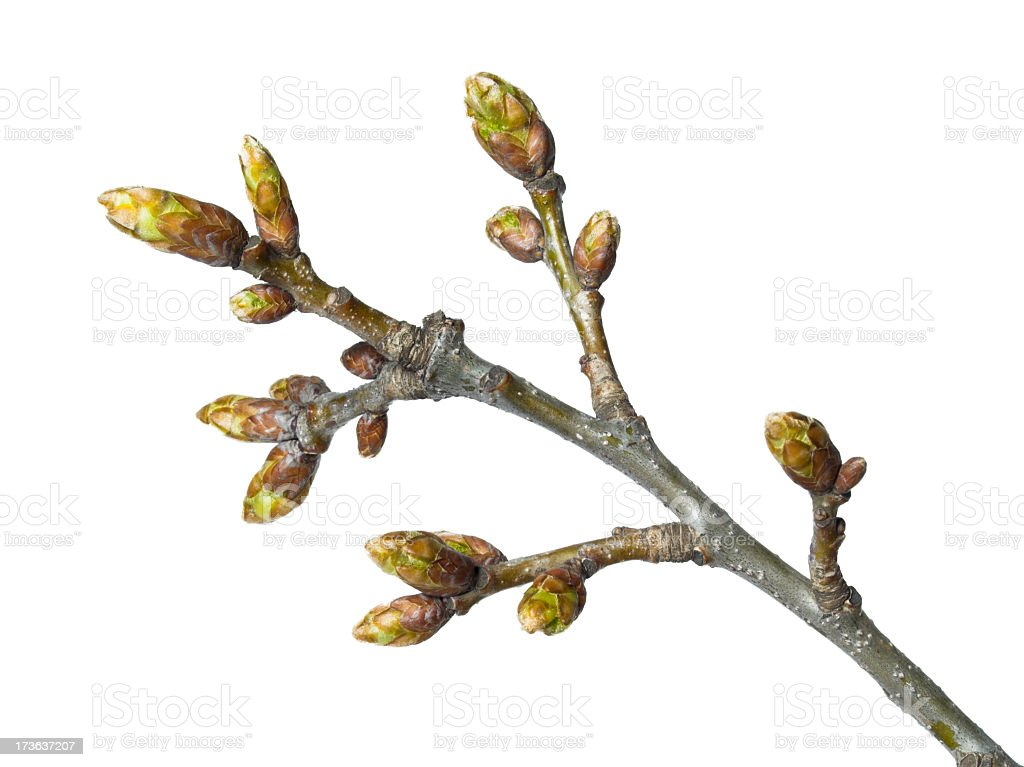 Branch with buds on a white background royalty-free stock photo