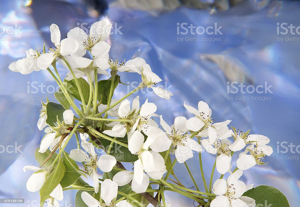Branch with cherry flowers and blossoms royalty-free stock photo