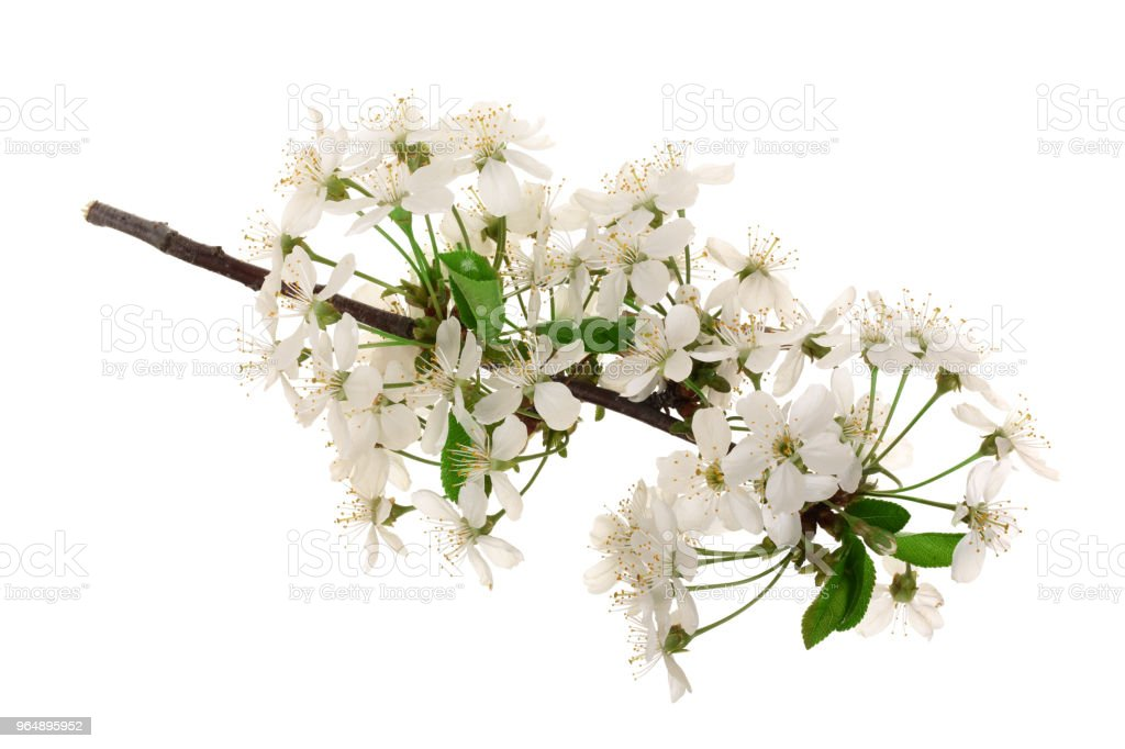 Branch with cherry flowers isolated on white background. Top view. Flat lay - Royalty-free Apricot Stock Photo